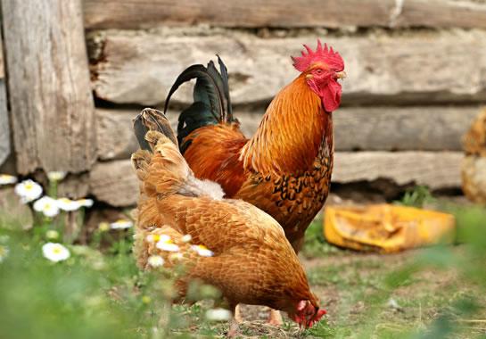 Futterautomaten für Hühner