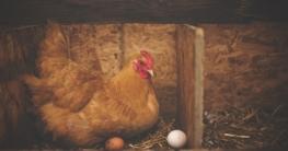 Hühner legen nicht